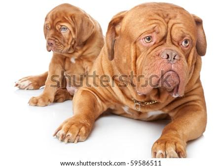 dogue de bordeaux cross pitbull. dogue de bordeaux cross