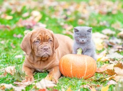 Puppy and kitten lying together with pumpkin on autumn foliage