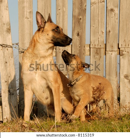 puppy and mother purebred belgian shepherd malinois