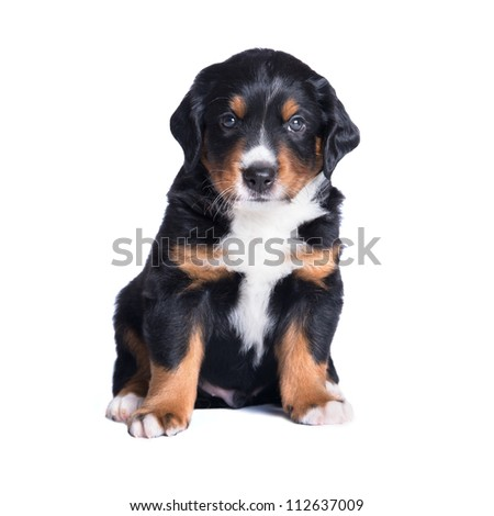 puppy appenzeller sennenhund, 5 weeks, isolated on white - stock photo