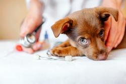 puppy at the vet, veterinary clinic