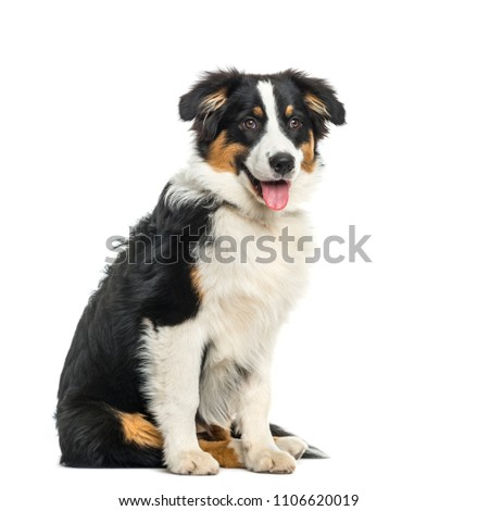 Puppy australian Shepherd sitting and panting, isolated Photo stock ©