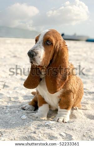 puppy basset hound sitting on sand beach