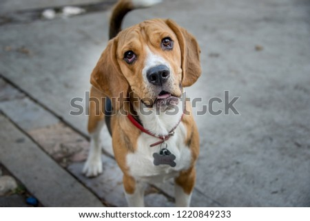 puppy beagle dog pet walk in the park smiling tender happy #1220849233