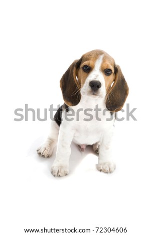 Puppy Beagle in front of white background.