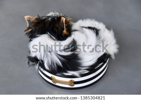 Puppy Biewer Yorkshire Terrier sleeping in a black and white striped bowl with a gold bone on a gray charcoal background. #1385304821