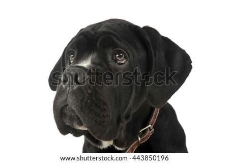 Puppy Black Cane Corso Portrait In Studio Ez Canvas