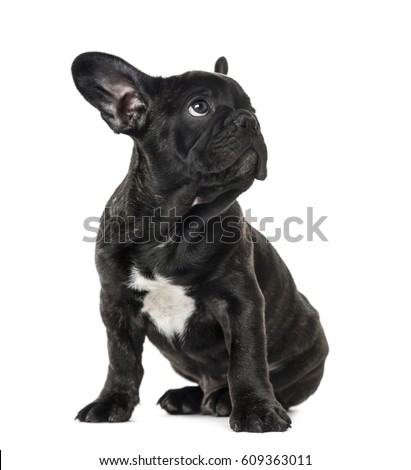 Puppy Black French bulldog sitting and looking away , isolated on white #609363011