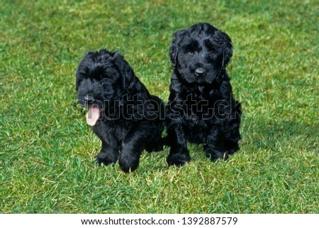 Puppy black giant Schnauzer dog #1392887579