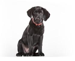 puppy black labrador on white background