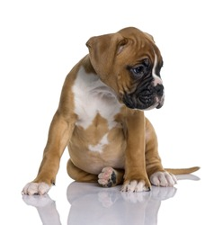 Puppy Boxer, 2 months old, sitting in front of white background, studio shot
