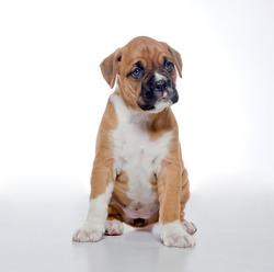 Puppy Boxer, 2 months old, white background, studio shot