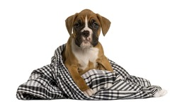 Puppy Boxer wrapped in blanket, 2 months old, in front of white background