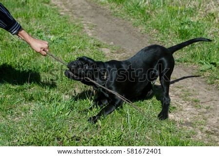 Dog Of The Breed Cane Corso Italian Mastiff Images And Stock