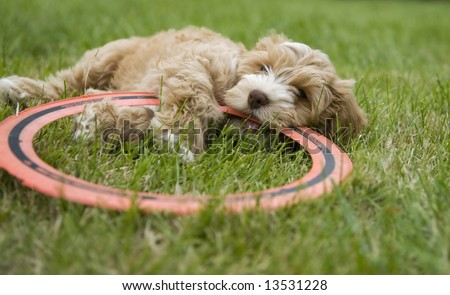 Puppy chewing on a disc