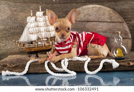 puppy Chihuahua and marine paraphernalia