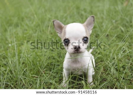 Puppy chihuahua sitting at the grass