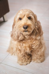 Puppy Cockapoo dog (mixed breeding with cute Cocker spaniel + Poodle) Pet healthcare animal concept. Portrait Cockapoo dog look at camera. Hairy Cocker spaniel sitting on the floor, blurred background