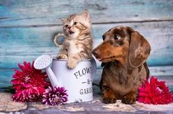 puppy dachshund and tabby kitten  fluffy