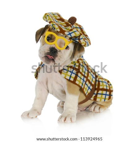puppy detective - english bulldog puppy dressed up like a detective on white background