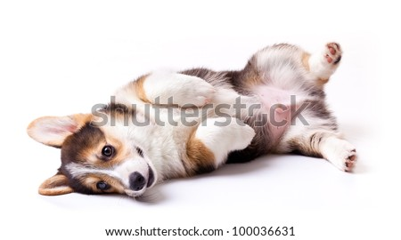 puppy dog breed Welsh Corgi, Pembroke on white