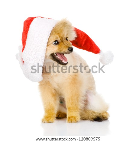 puppy dog in red christmas Santa hat, isolated on white background