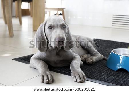 puppy dog pointer #580201021