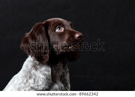 Puppy dog portrait, German Shorthaired Pointer, against black background with much room for copy space