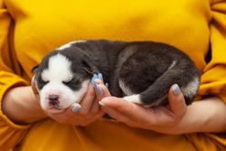 Puppy dog sleeps on female hands. Womans hands are holding newborn husky puppy. Pet care concept.