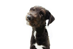 Puppy dog tilting head sideways, Isolated on white background.