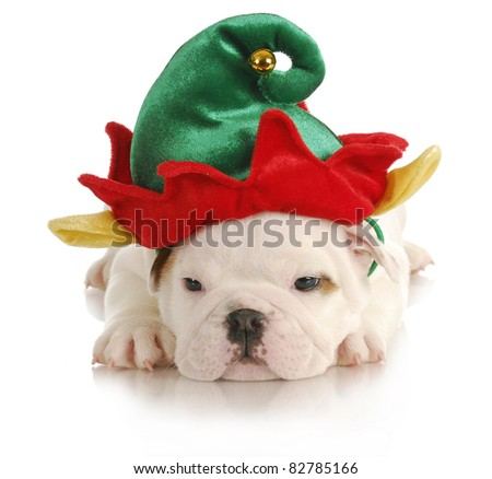 puppy elf - english bulldog dressed up like christmas elf on white background