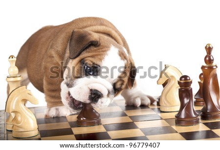 Puppy english Bulldog  and chess