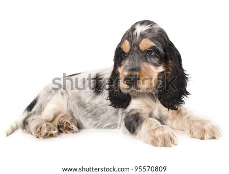 puppy English cocker spaniel