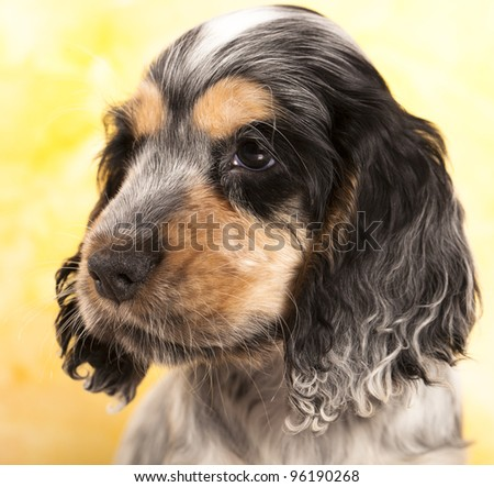 puppy English cocker spaniel - stock photo