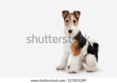 puppy fox terrier in the studio #527835289