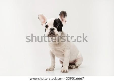 7 im genes de bulldog frances gratis en freejpg - Bulldog frances gratis madrid ...