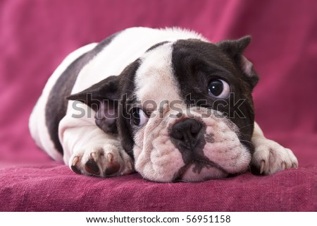 French Bulldog Puppies on Puppy French Bulldog Stock Photo 56951158   Shutterstock