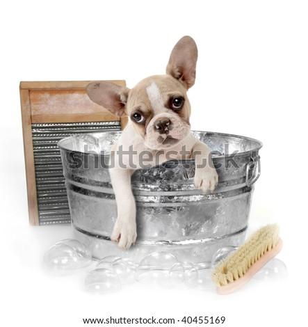 Puppy Getting a Bath in a Washtub In Studio - stock photo