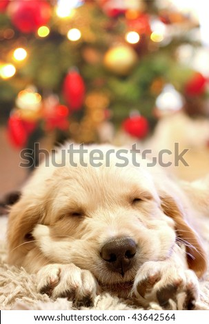 Stock Photo Puppy Golden Retriever Asleep In Front Of A Christmas Tree