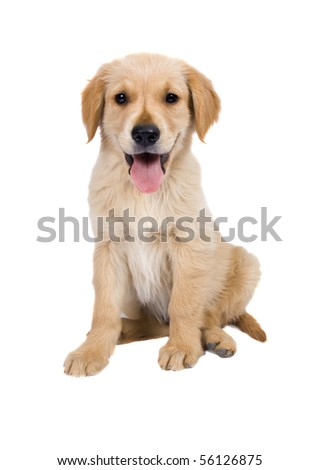 Puppy Golden Retriever  isolated on white  Background