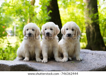 Puppy Golden Retriever pup posing outdoors #746362444