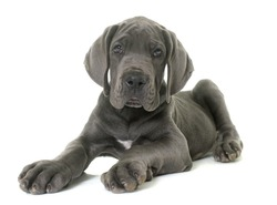 puppy great dane in front of white background