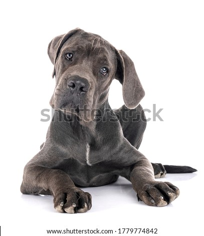 puppy great dane in front of white background Foto d'archivio ©
