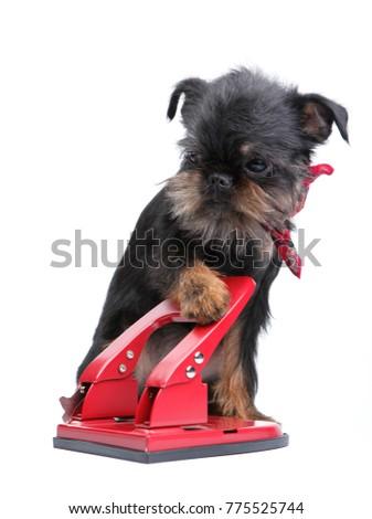 Puppy Griffon with stapler