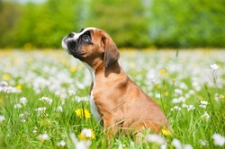 Puppy in a spring meadow