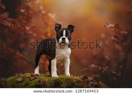 Puppy in autumn. Colourful portrait. Boston terrier puppy in autumn.