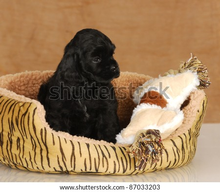 puppy in dog bed - seven week old American cocker spaniel puppy