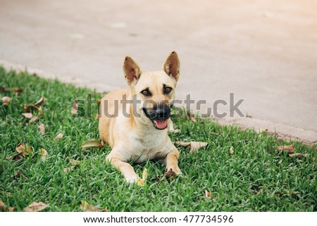 puppy in the lawn in thai #477734596