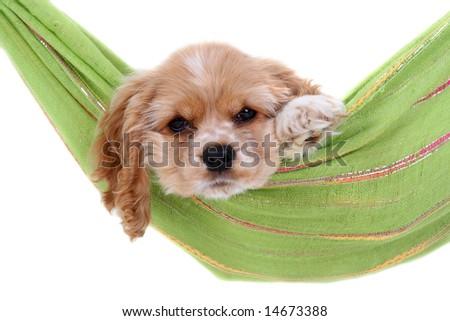 Puppy into hammock