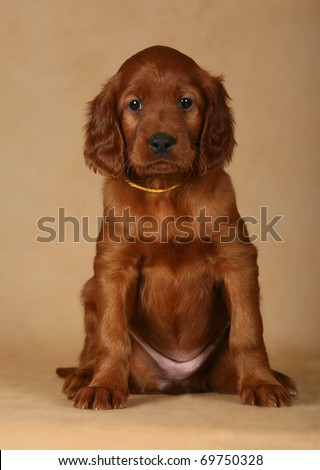 puppy irish setter - stock photo